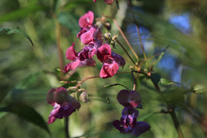 Garden of Invasive Alien Species, Himalayan balsam (Impatiens glandulifera), 2013