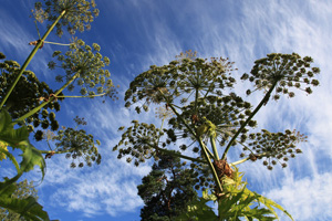 Garden of Invasive Alien Species, Persian Hogweed (Heracleum persicum), 2013