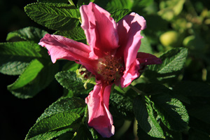 Garden of Invasive Alien Species, Japanese Rose (Rosa rugosa), 2013